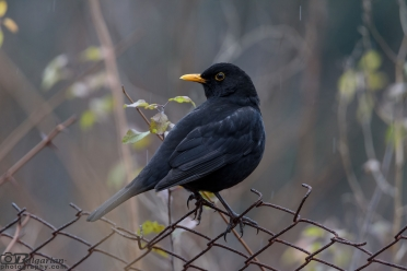 Common blackbird or Eurasian blackbird (Turdus merula)