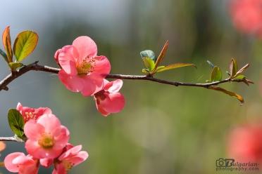 Хеномелесът - Японска дюля (Cydonia japonica)