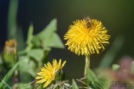 Пчела събира прашец от Жълто Глухарче