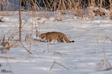 Дива котка край град Свищов