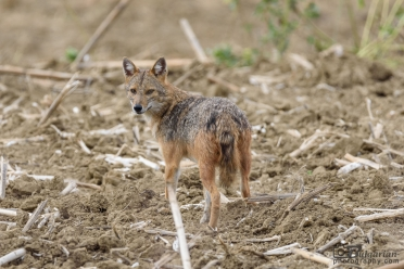 Златист Чакал (Canis aureus)