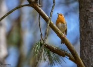 The European robin