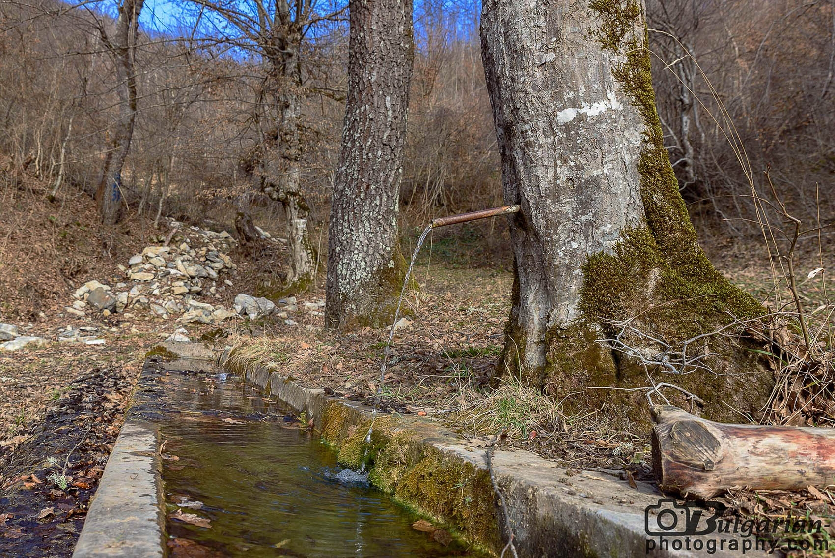 Чешма извираща от дърво. В България има само няколко подобни. Тази се намира на пътя преди Тетевен