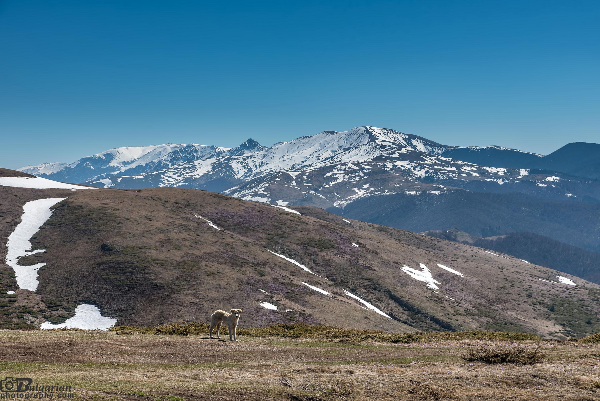 Едно от кучетата на фона на алпийската част на Стара планина