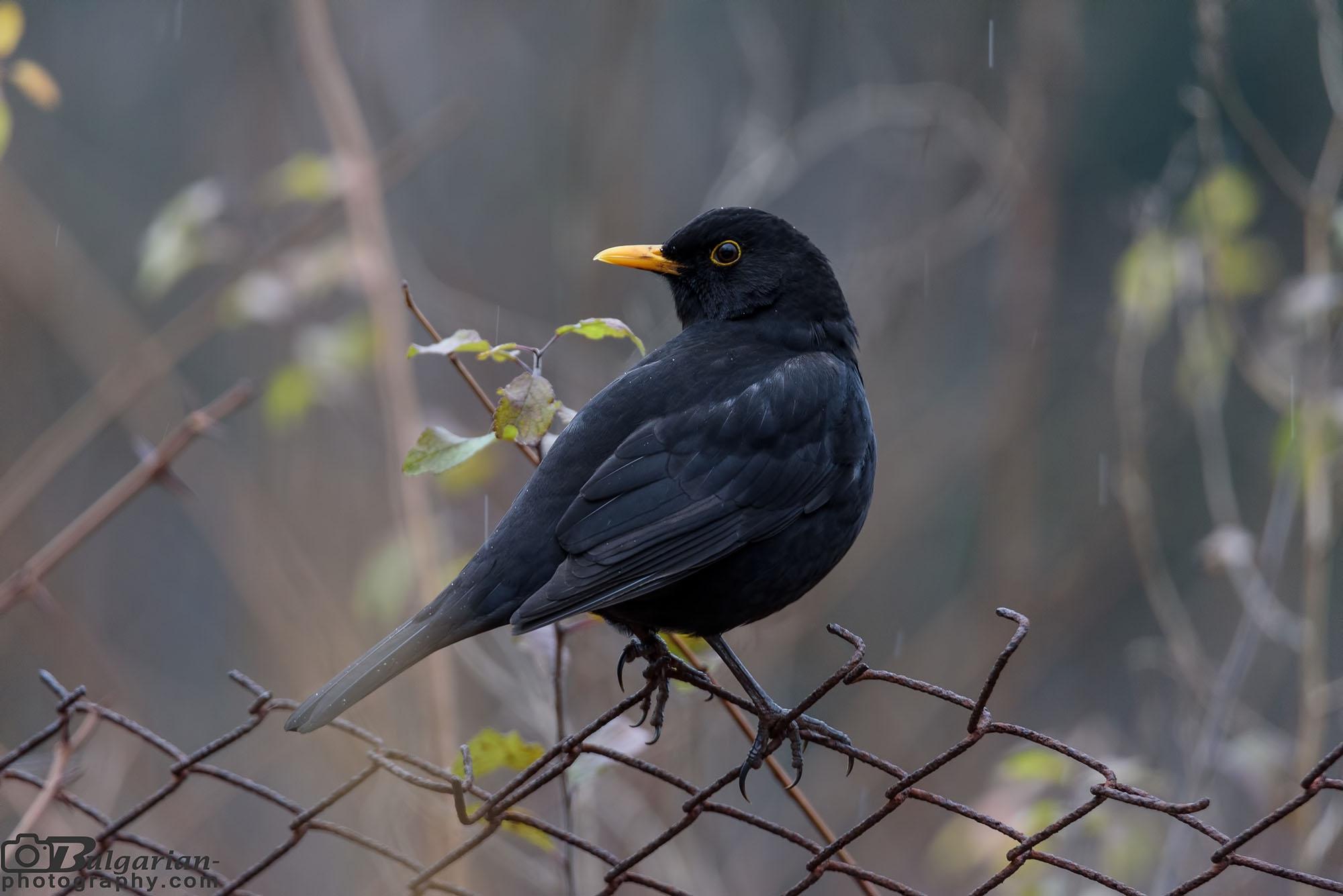 Common blackbird or Eurasian blackbird (Turdus merula)