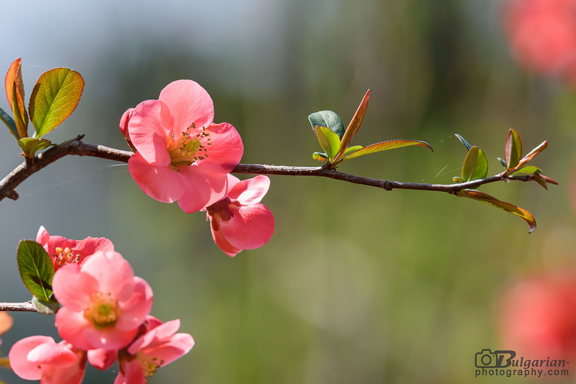 Chaenomeles - Japanese quince (Cydonia japonica)