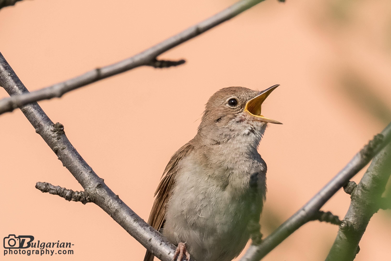 Common Nightingale - Luscinia megarhynchos