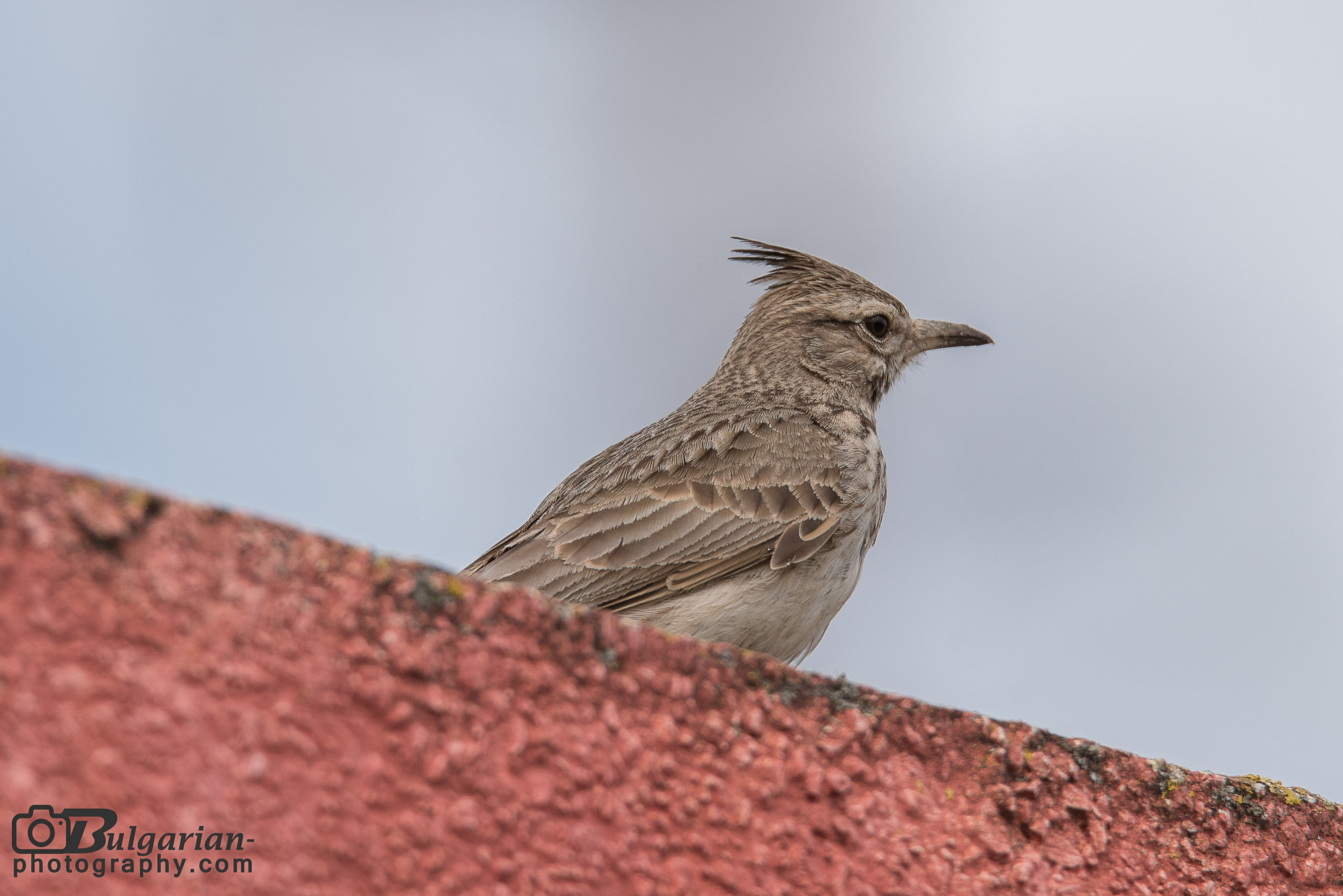 Crested Lark on roof
