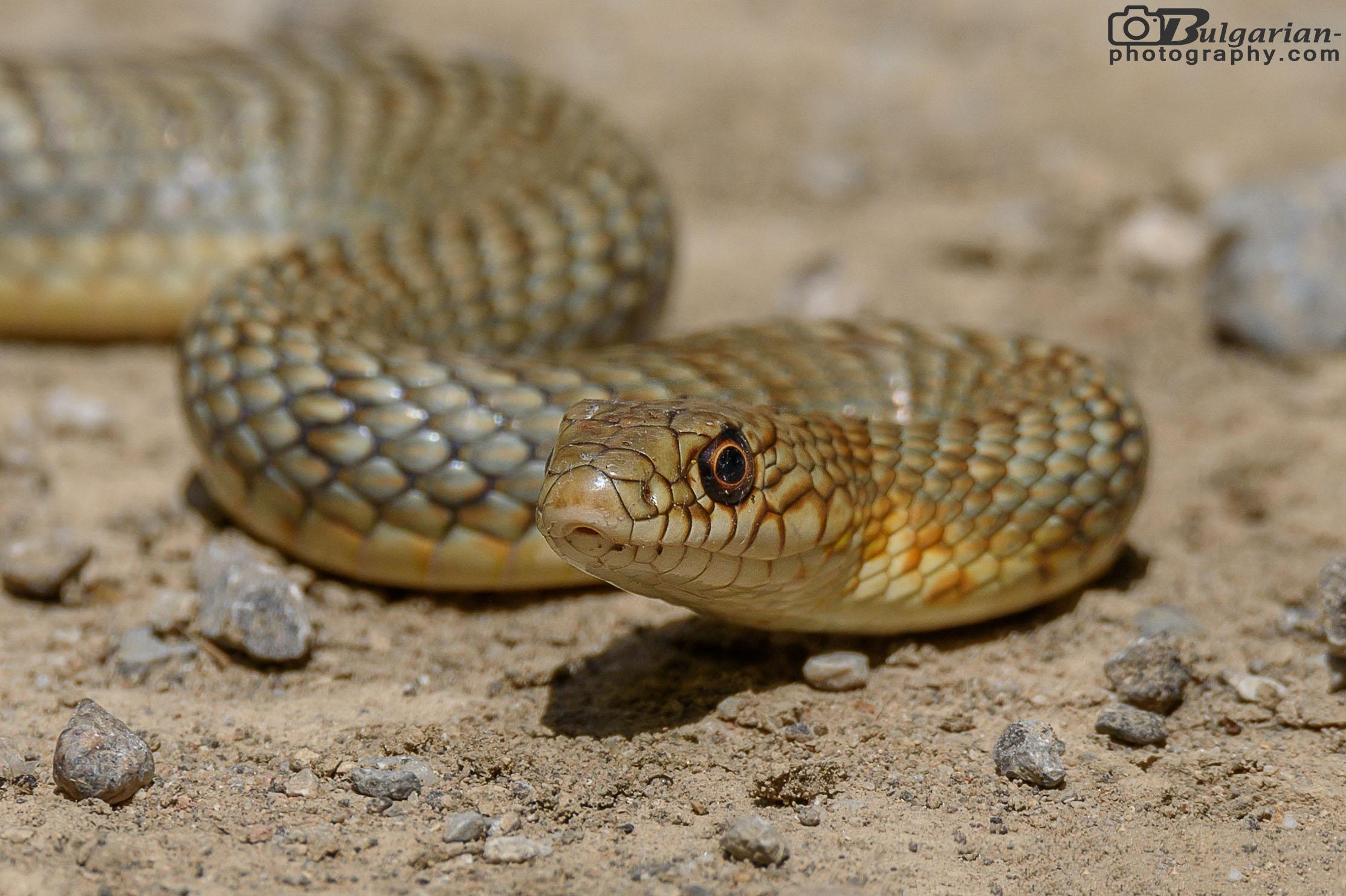 Whipsnake Coliber Caspius