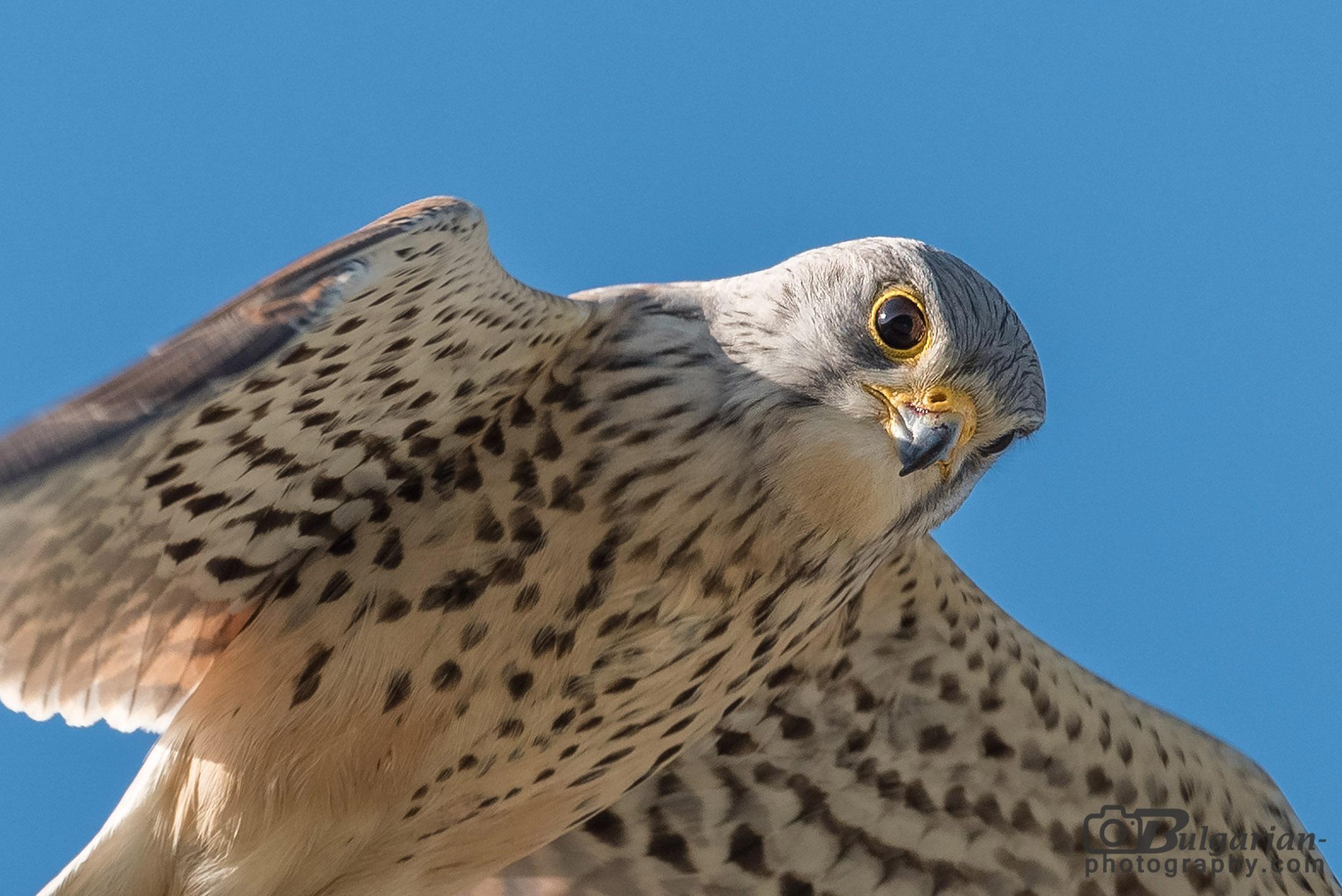 Common Kestrel Falco tinnunculus