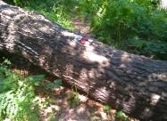 Паднало дърво с маркировка