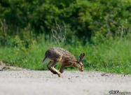 Див заек (Lepus europaeus)