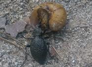 Понякога природата е жестока. Бръбар Голям черен бегач яде охлюв.