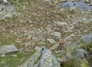 Дива коза снимана на 70мм
