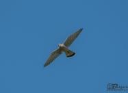 Common Kestrel male in flight