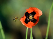 Пчеличка събира прашец от мак