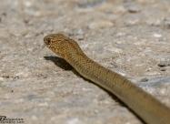 Whipsnake