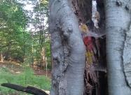 Дървото е глътнало старата маркировка за Ком Емине. Старата е с жълто