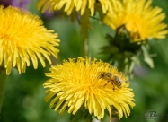 Bee collects pollen from Yellow Dandelion