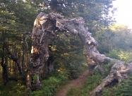 Легендарното дърво, портал към друго измерение, по пътеката преди връх Корита.
