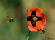 Пчеличка събира прашец от мак. Това се кани да направи и земната пчела вляво