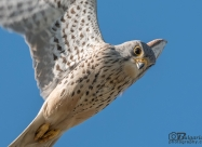 Common Kestrel male during hovering