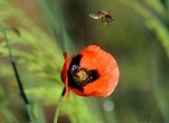 Пчеличка събира прашец от мак. Виждат се и кошничките за събирането на прашеца
