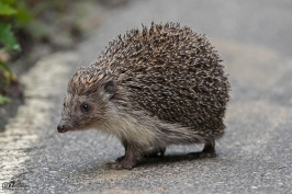 Hedgehog over the village of Shipkovo