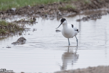 Саблеклюн Recurvirostra avosetta