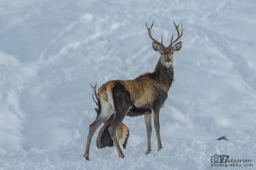Благороден елен (Cervus elaphus)